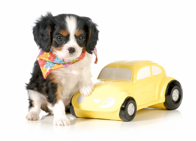 Pet safety in cars